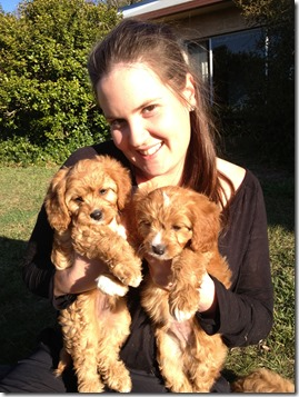 Cavoodle Breeder Of Quality Cavoodle Puppies For Sale